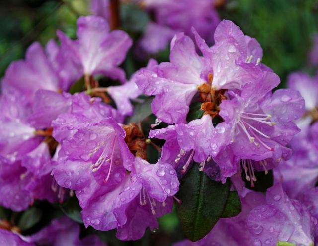 rhododendron in rain 1