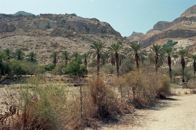 En Gedi palms